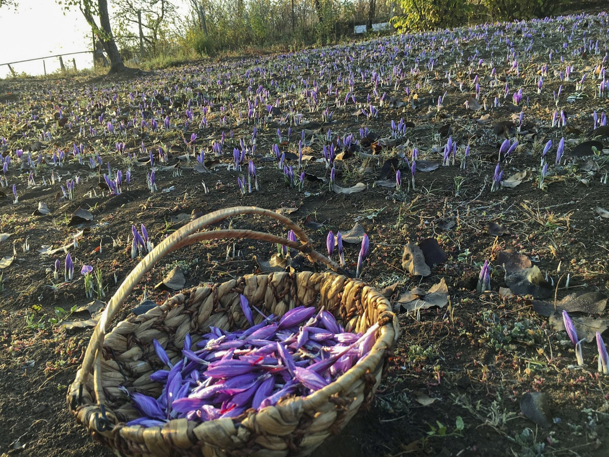 saffron field and a basket filled with saffron flowers